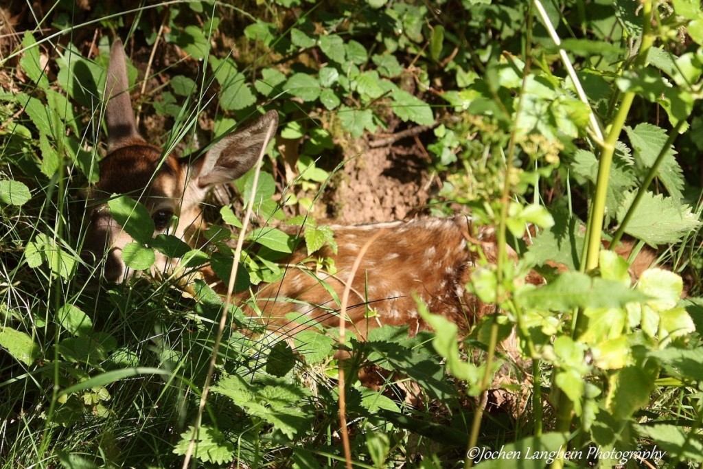 One week old red deer calf hiding.